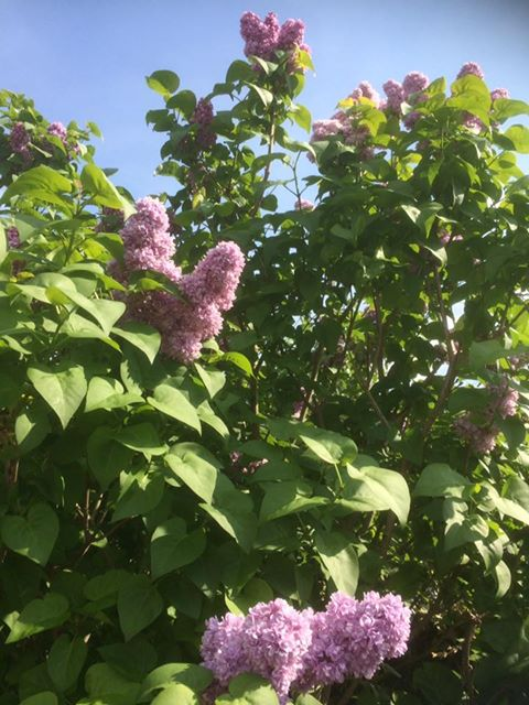 C'est le printemps : lila