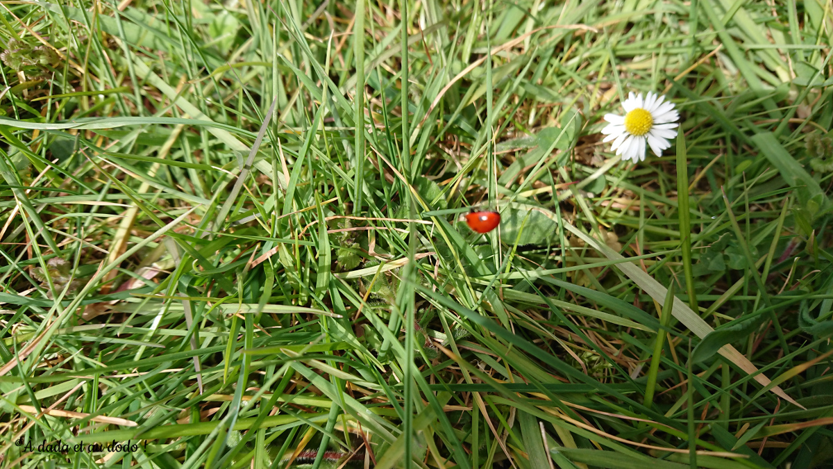 coccinelle dans l'herbe