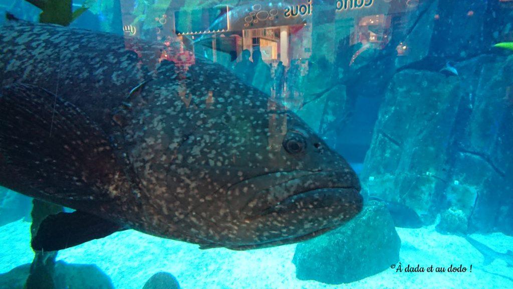 Aquarium de Dubai Mall mérou