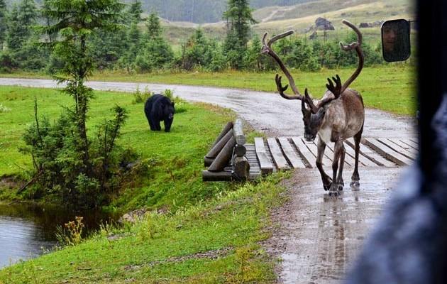 Caribou et ours